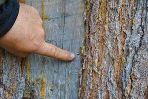 Отверстие в дереве, оставленное короедом